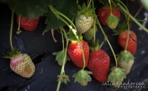 Wegmeyers_Farm_Strawberry_Upick_by_Catina_Anderson-3