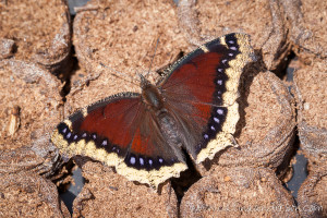 Mourning Cloak Butterfly on Jiffy Pods by Catina Anderson