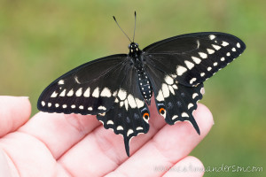 Eastern Black Swallowtail by Catina Anderson
