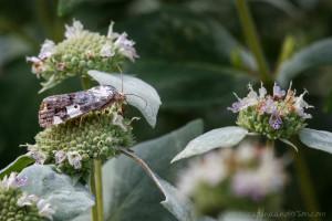 20200806_CMA_Tarache_aprica_Exposed_Bird_Dropping_Moth_Female-5