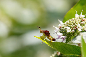 20200802_CMA_Ambush_Bug_on_Pycanthemum_muticum